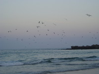 Setting Gulls