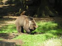 Bear digging