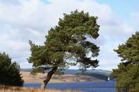 Tree At Keilder