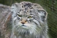 Pallis cat