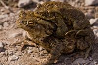 Toads 1