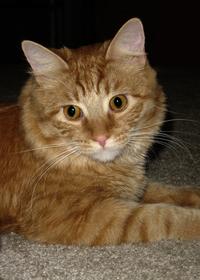 The Big Orange cat