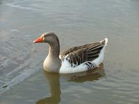 Goose swiming