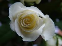 White rose, macro