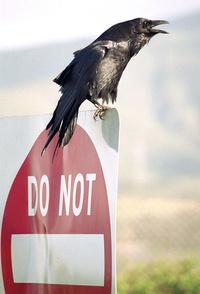Black Crow 2