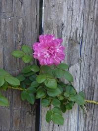 Rustic Rose