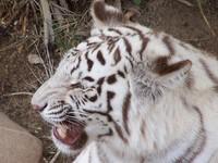 White Tiger 2