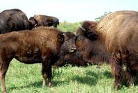 Buffalo Calf & Mama 1