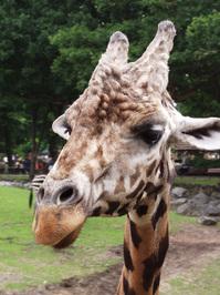 zoo giraffe 2