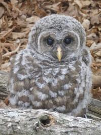 Baby barred owl