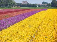 Blumenfeld/ Lot of flowers in Holland Netherland 2