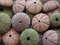 urchins' shells