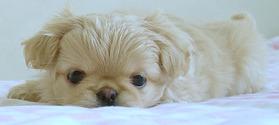 A sweet pekingese puppy