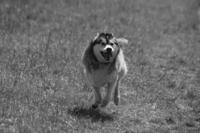 maloup the husky 6