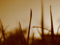 Sepia Grass