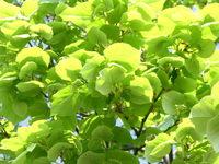 leafs 3