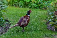 The posing pheasant