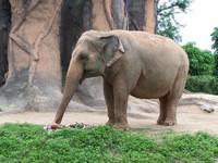 Indian Elephants 5