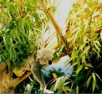 koala heaven