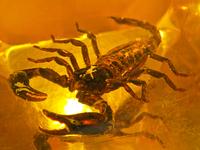 scorpion in bastard amber