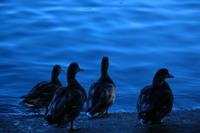 Ducks watching Water 4