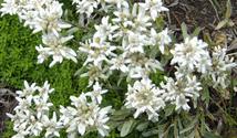 edelweiss 3