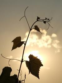 Grape vine leaves and tendrils