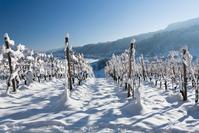 White Vines 1