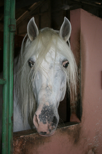 Lucitano stallion