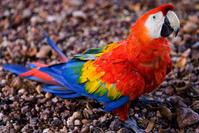 Araras Vermelhas - red Brazilian Macaws 1