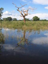 reflecting tree Pantanal, Braz