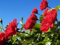 Blue Sky Rose