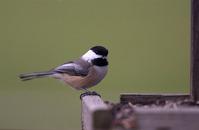 Song Birds 14
