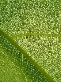 Leaf Up Close 2