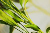 Lucky Bamboo 5