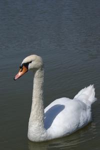 White swan in Paris