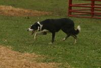 Sheep Hearding Dog