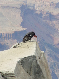 california condor 2