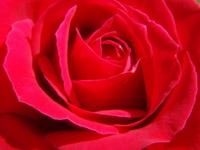 Red Anniversary Rose