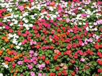 bloomed bed-flower