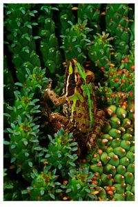 African Painted Reed Frog - NvdMerwe-ZA