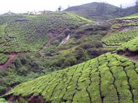 Tea gardens 10