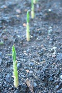 garlic shoots