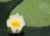 beba lotos