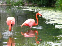 Flamingo drool