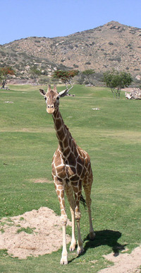 Giraffe Up Close 2