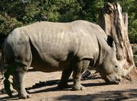 Rhinoceros and Raven 3