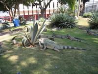 Iguanas 2