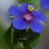 field's flower