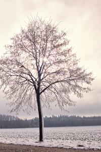 Icy Linden Tree